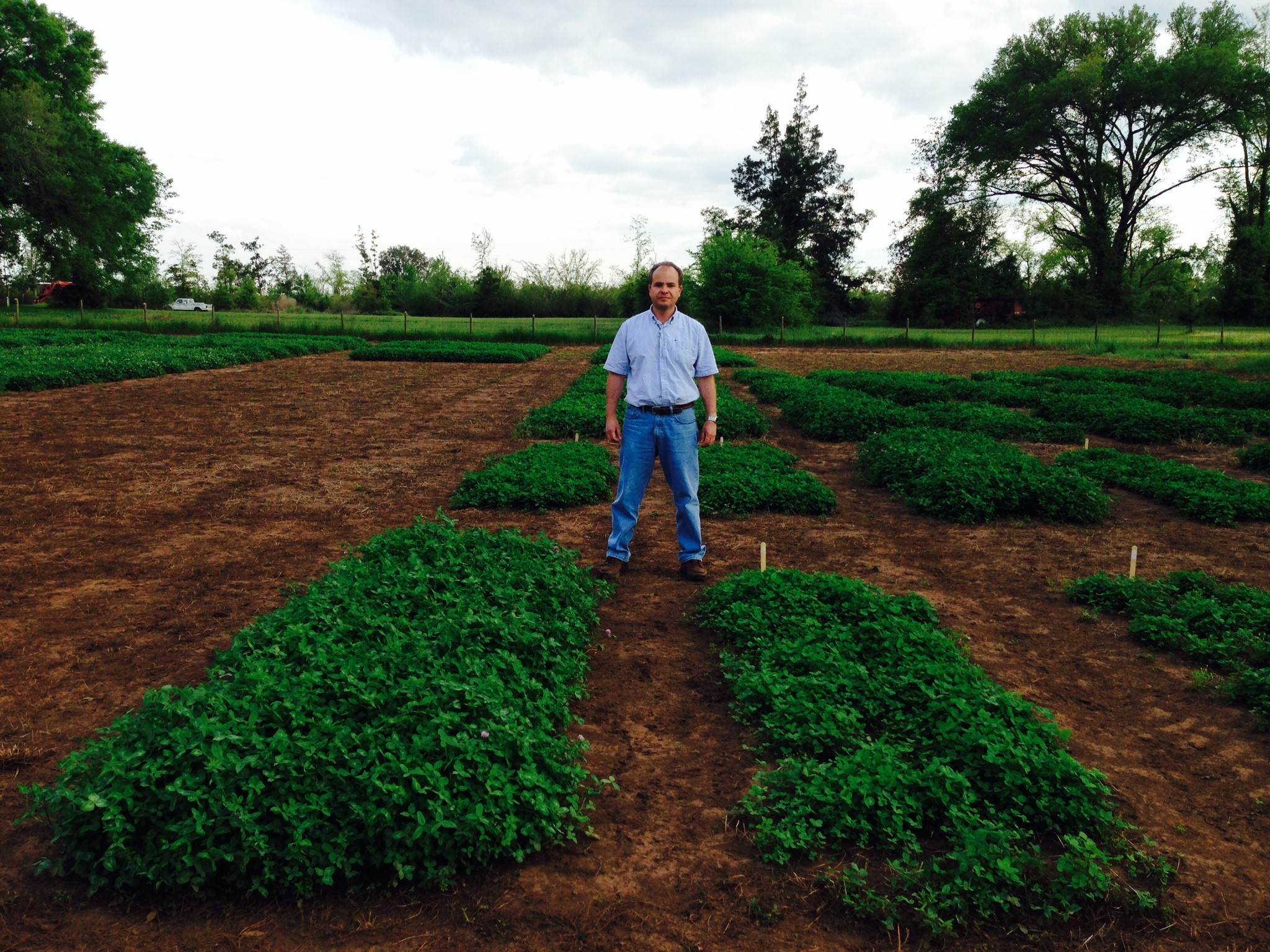 New 2,4-D tolerant red clover (left) at the NFREC-Marianna.  Photo by Ann Blount