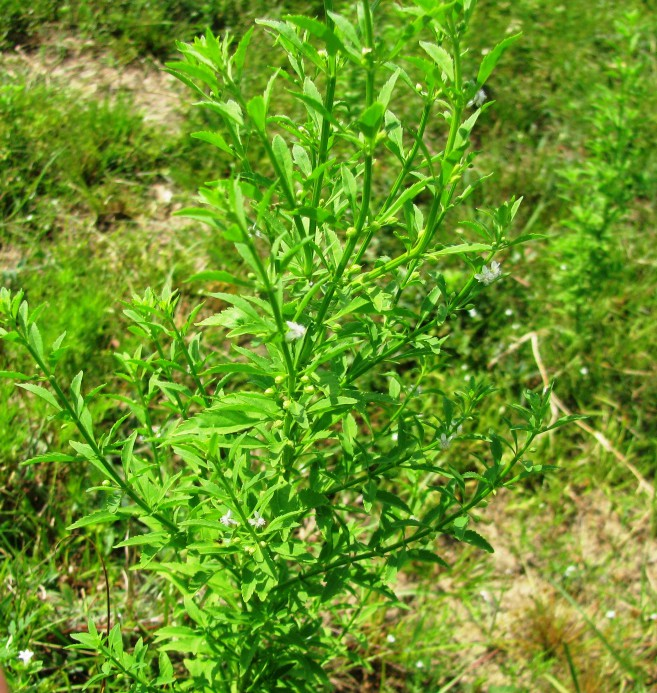 what is goat weed good for
