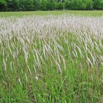 Weed of the Week: Cogongrass