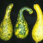 Got Green Squash? Might be a Virus