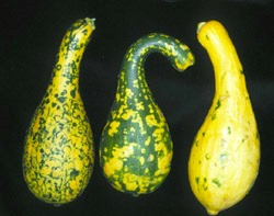 Figure 3. Fruit symptoms of virus disease on yellow squash. Photo courtesy www.freshfromflorida.com