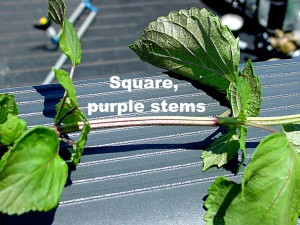 Perilla mint has square stems with a reddish to purple tint.  Photo credit:  Doug Mayo