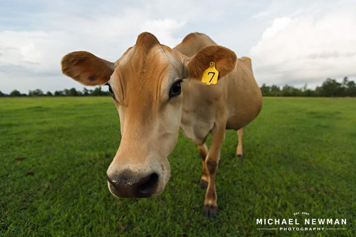 grass-based  Grade A dairy U Grade Cattle