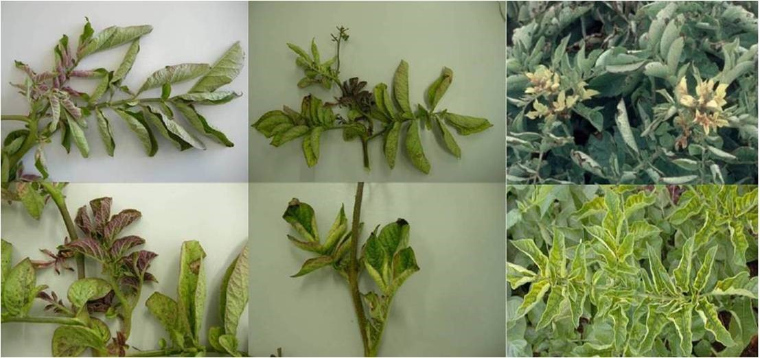 ig.1. Shoots of zebra chip affected potato plants infected with Ca. Liberibacter solanacearum. Leaves on younger shoots display purpling, and older leaves are chlorotic. The leaves are also rolled. (Photos courtesy: Dr. Lia Liefting).