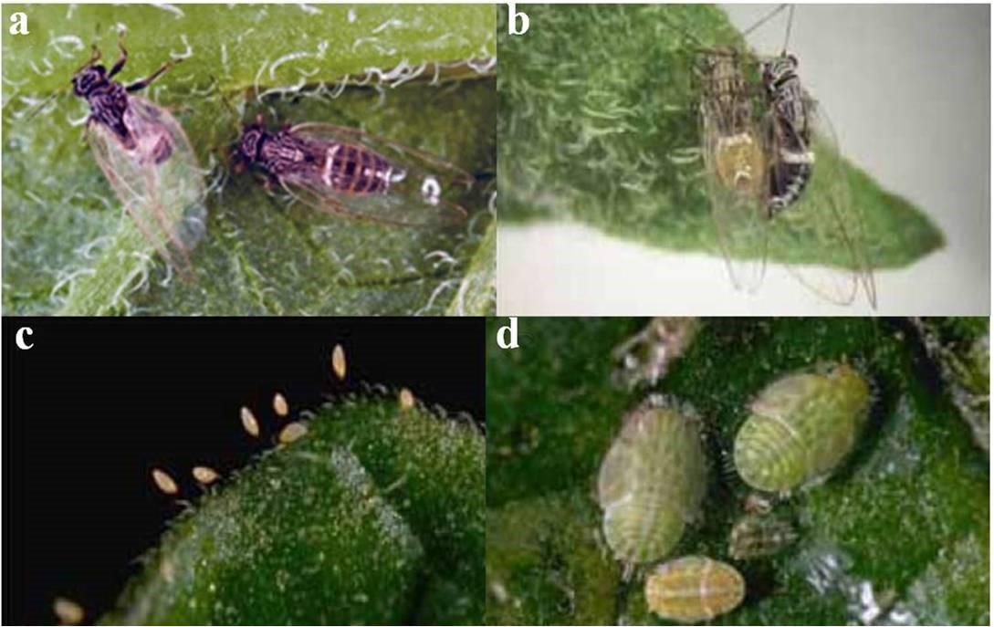 Fig.10. Potato/Tomato Psyllid vector. (a and b) adult psyllids, c) eggs (Photo courtesy: J. Kelly Clark), and d) nymph.