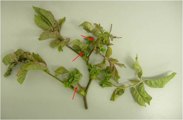 Fig.2. Shoots of a zebra chip affected potato plant infected with Ca. Liberibacter solanacearum. The shoots are stunted and swollen (arrows) and swelling is occurring at the nodes. (Photo courtesy: Dr. Lia Liefting).