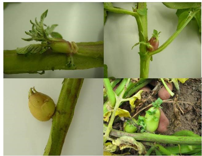 Fig.3. Aerial tuber formation on zebra chip affected potato plant infected with Candidatus Liberibacter solanacearum. (Photo courtesy: Dr. Lia Liefting)