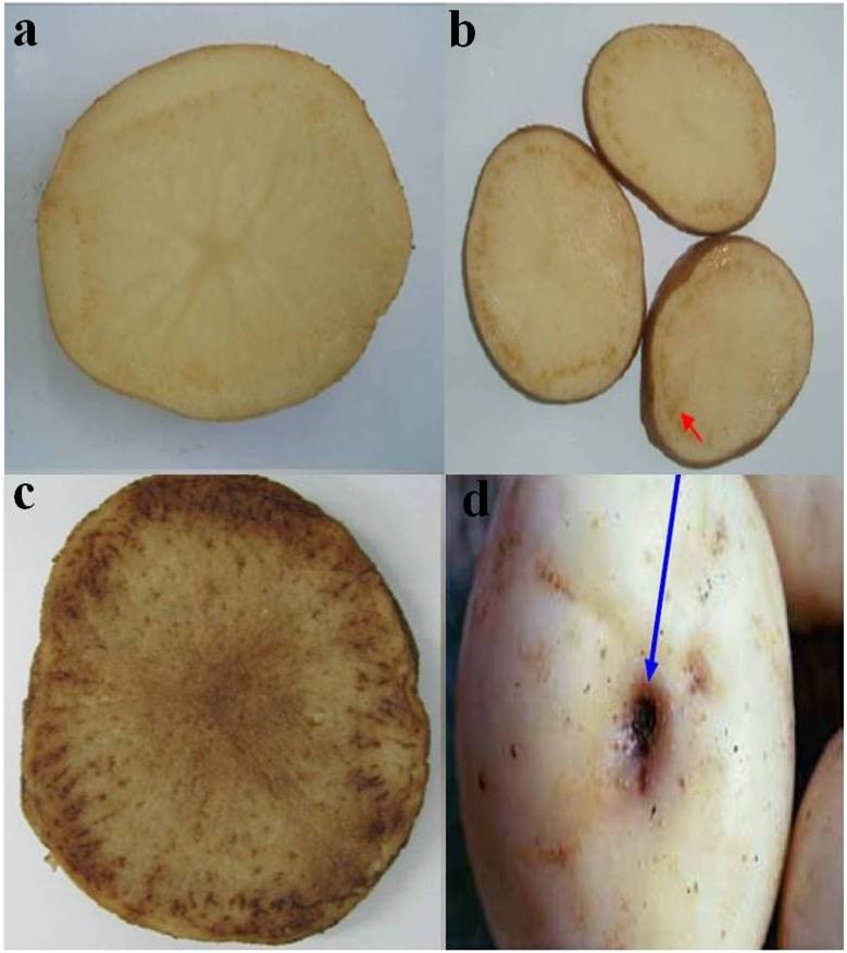 Fig.4. Fresh tuber slices of zebra chip affected potato plants infected with Ca. Liberibacter solanacearum. The images show mild (a), moderate (b) and (c) severe discoloration and flecking of the vascular tissue and streaking of the medullary rays of tuber slices after frying and (d) brown to pinkish collapsed stolons. (Photo courtesy: Dr. Lia Liefting (a,b,c) and Munyaneza (d)).