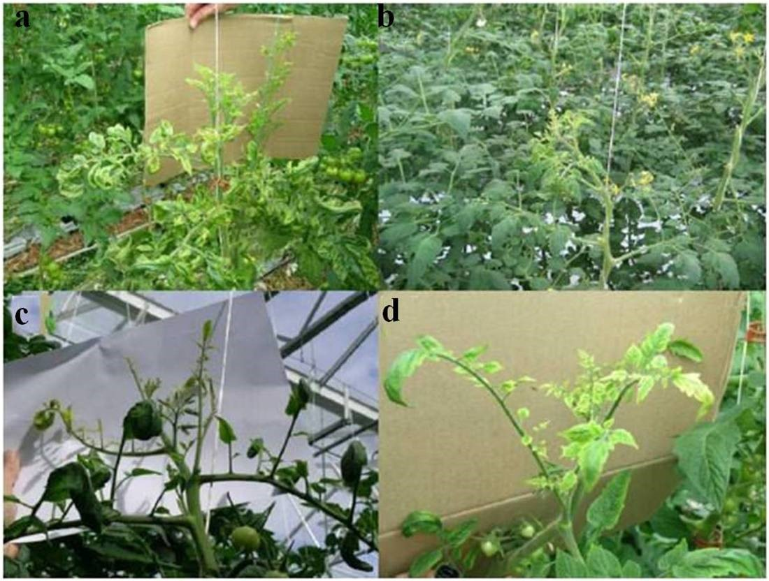Fig.5. Shoots of psyllid yellows affected tomato plants infected with Ca. Liberibacter solanacearum. The images show stunting (a and b) and chlorosis of the apical growth (a, b, c, and d), which can be spiky (c). The leaflets on some affected shoots are also distorted and curled (a and c). Some varieties may have interveinal chlorosis and vein greening (d) (Photo courtesy: Dr. Lia Liefting)