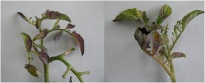 Fig.9. Shoot tip of psyllid yellows affected tomato plant infected with Ca. Liberibacter solanacearum showing purpling of the leaflets and petioles (Photo courtesy: Dr. Lia Liefting).