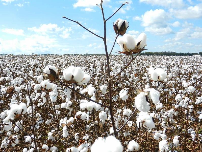 cotton1 (800x600)