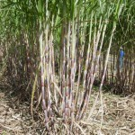 Sugarcane Field Day – November 2
