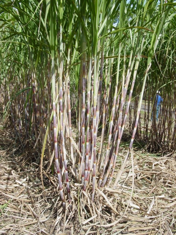 ... date. The Sugarcane Field Day will be held: Monday, November 3, 2014
