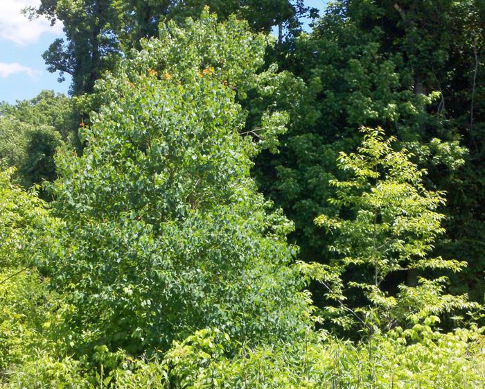 Invasive talllow tree control study on Neal Land & Timber property.  Photo credit:  Judy Ludlow