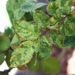 Fig. 1: Chlorotic line patterns on the leaves caused by Rose mosaic disease.