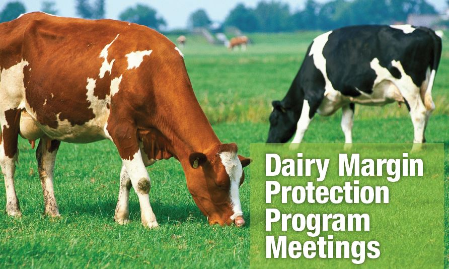 dairy cows MPP