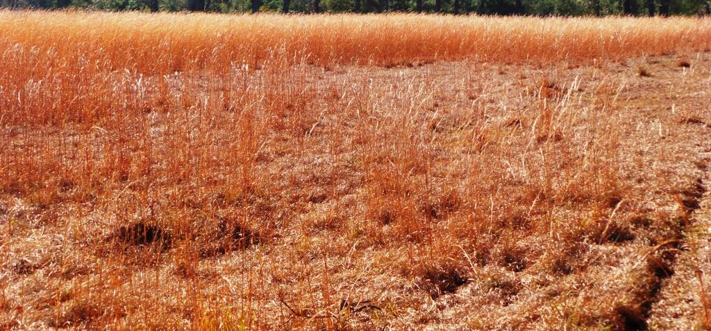 """Preventing broomsedge is preferred to trying to control it after it is established. Chemical control options are very limited. There are products on the market labeled for the control of """"broom weed"""" ; these will not be effective. Broom weed is an entirely different plant."""
