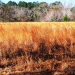 Pasture Soil Fertility Essential to Prevent Broomsedge Infestations