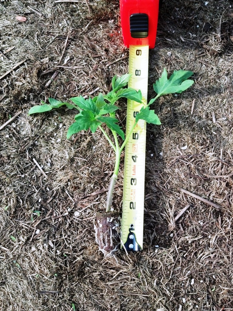 Figure 1. Commercially produced grafted tomato plant.  Photo by Josh Freeman