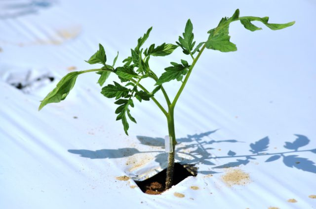 Grafting Tomatoes for Disease Resistance and Improved Yield
