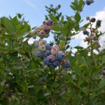 Small Farm Blueberry Production for the Panhandle
