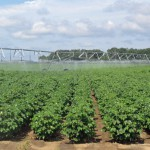 Cotton Irrigation Scheduling App Saves Water & Money