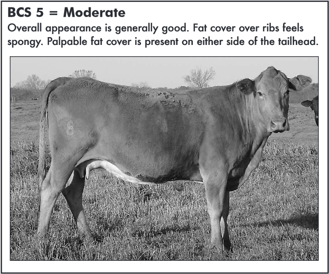 Source MSU Cares:  Body Condition Scoring Beef Cattle