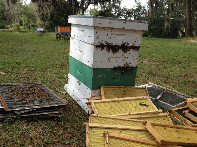 Bees robbing supers of honey and other equipment after a honey harvest. Notice the unusually high number of bees attempting to enter the colony at the joints between the supers.  Credit: Ashley Mortensen, UF/HBREL