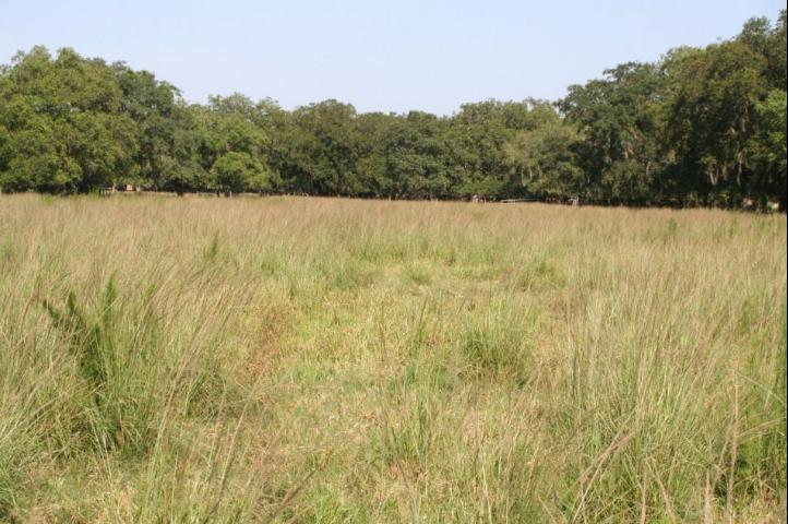 Smutgrass infestations are common in bahiagrass pastures throughout Florida.  Credit: B. Sellers, UF/IFAS