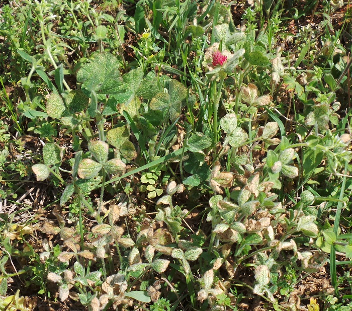 Legume mite damage in crimson clover field.