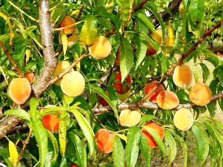 Gardening: Peaches ……