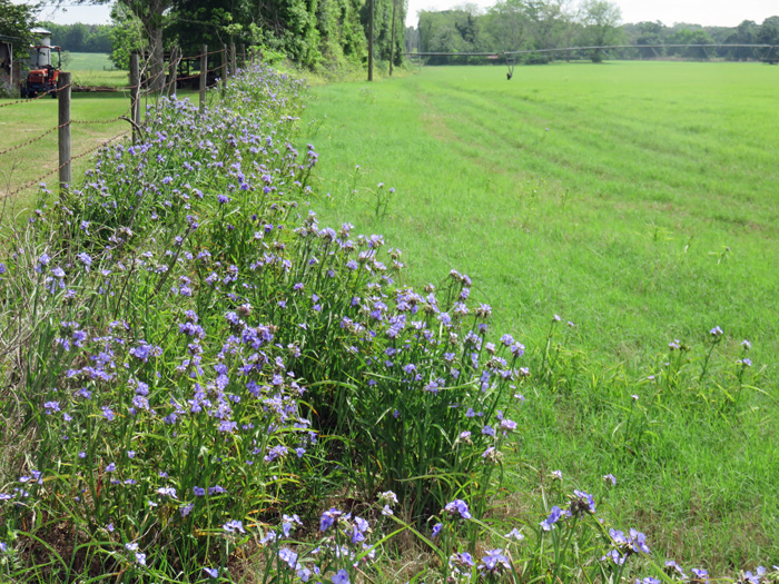 Jackson County Bermudagrass hayfield with spiderwort encroaching from near road right-of-way. Photo credit: Doug Mayo