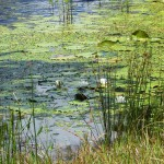 As water temperatures increase aquatic weed growth increases. Be sure to monitor ponds closely and control weeds before the problem gets too large. Photo Credit: Mark Mauldin