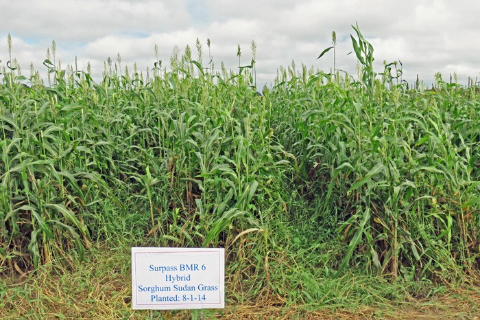 BMR Sorghum x Sudangrass planted August 1 and photographed October 3, 2014 at the NFREC Beef and Forage Field Day.  Photo credit:  Doug Mayo