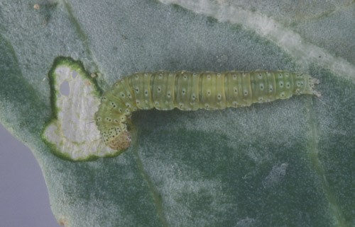 Larva of the diamondback moth, Plutella xylostella (Linnaeus). Credit: Lyle Buss, University of Florida