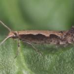 Adult diamondback moth, Plutella xylostella (Linnaeus). Credit: Lyle Buss, University of Florida