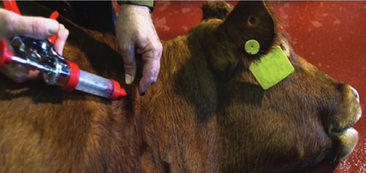Injection Site BQA Tips at Calf-working Time » Newsletters