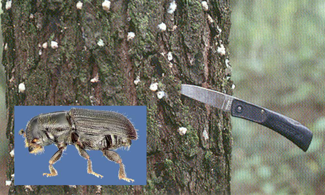 Figure 1. Pitch tubes of the southern pine beetle (SPB), Dendroctonus frontalis Zimmermann, on outer bark. Photograph by James. R. Meeker, FDACS, Division of Forestry. Figure 4. Lateral view of southern pine beetle, Dendroctonus frontalis Zimmermann. Photograph by David T. Almquist, University of Florida.