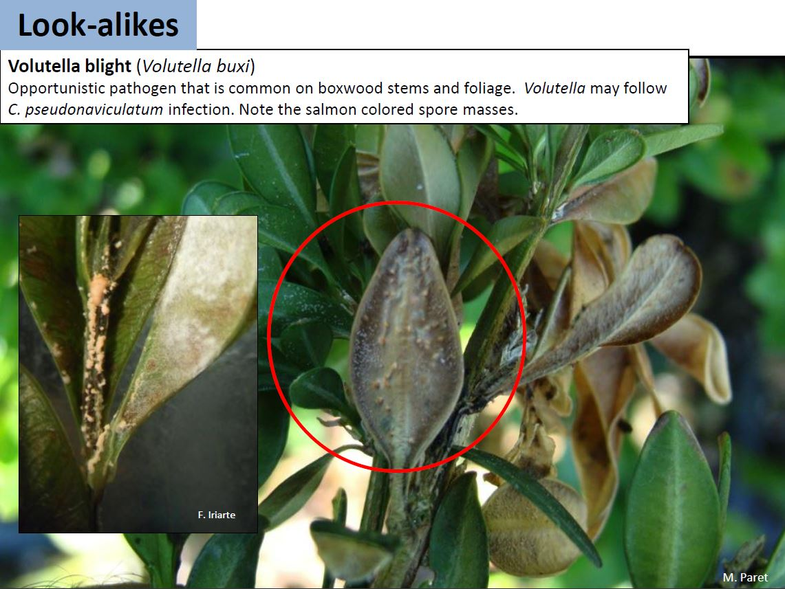 Boxwood volutella blight