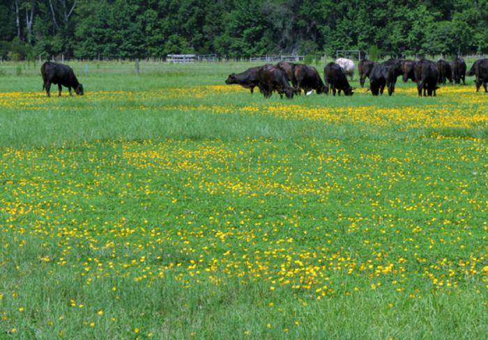 Figure 3. Rhizoma peanut + bahiagrass pastures 10 years after establishment (Photo Credit: Miguel Castillo)