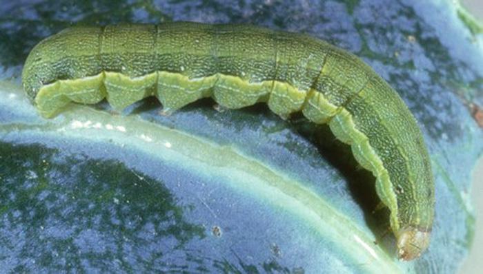 Larva of a beet armyworm, Spodoptera exigua (Hubner).  Photograph by John Capinera, University of Florida.