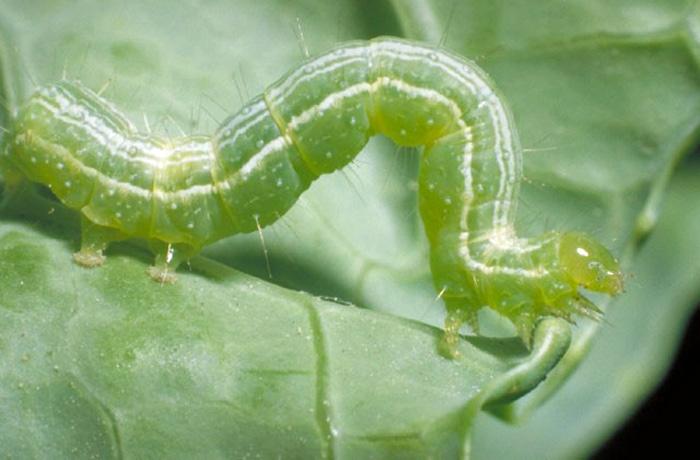 Larva of cabbage looper, Trichoplusia ni (Hubner). Credit: University of Florida