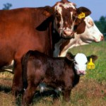 Spring versus Summer Weaning for Fall Calving Cows