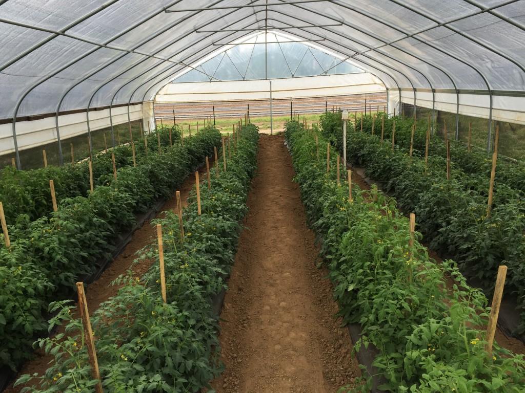High tunnel Tomato Crop at UF/IFAS WFREC: photo by Blake Thaxton