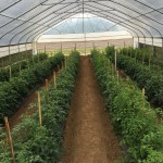 High Tunnels Can Exclude Vegetable Pests