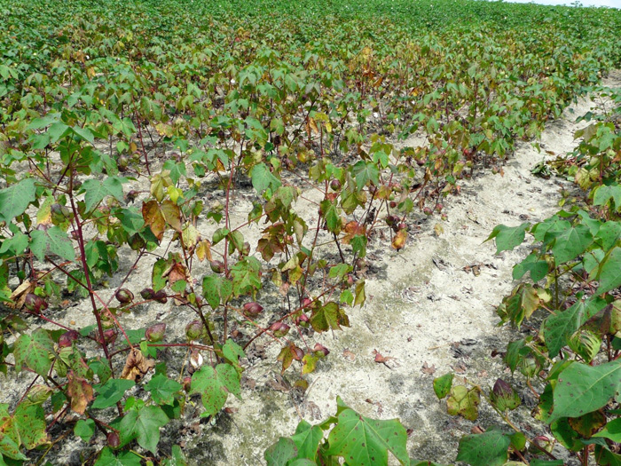 Premature defoliation in cotton due to Stemphylium.  Image credit: http://thomascountyag.com/2012/09/06/foliar-diseases-in-cotton/