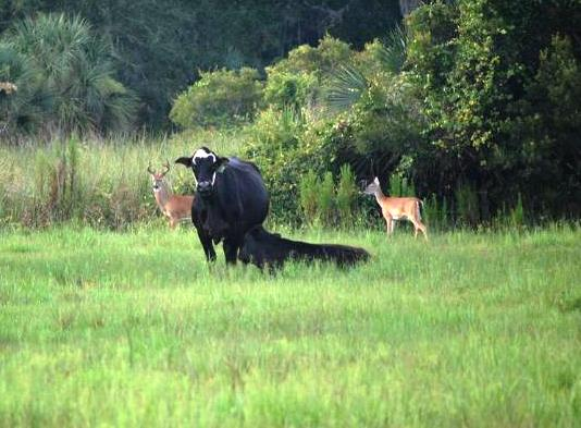 cattle and deer photo by Robert Hoffman, UF Wildlife Extension2