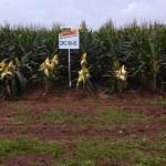 Debunking GMO Myths