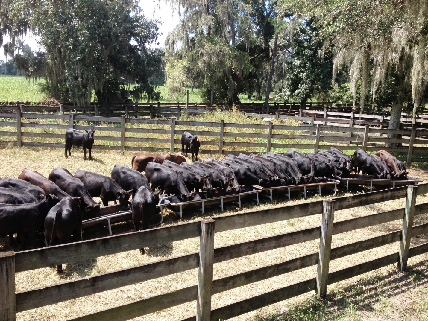 Calves after weaning can undergo a considerable amount of shrink in bodyweight as a result of stress and diet changes. (Alachua, Florida)