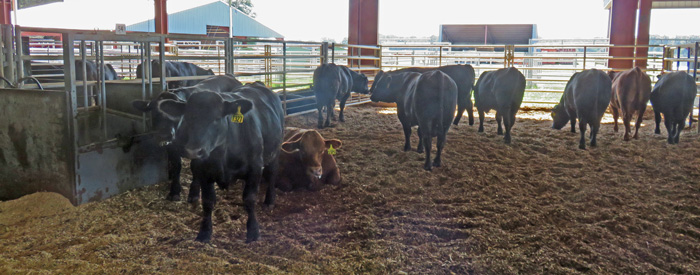 Young bulls from across the Southeast are being evaluated for efficiency in the Florida Bull Test. Photo credit: Doug Mayo